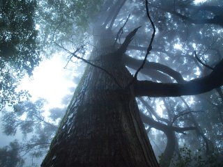 s05巨木3