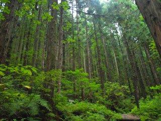 s01杉木立1