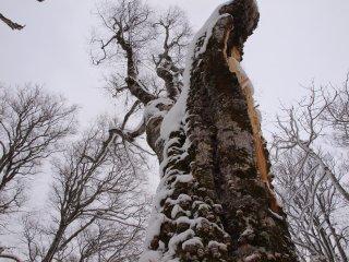 s04巨木
