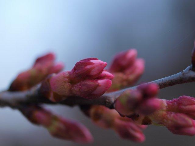 s桜の蕾04101