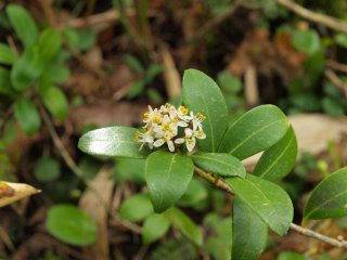 s白くて小さい木の花1