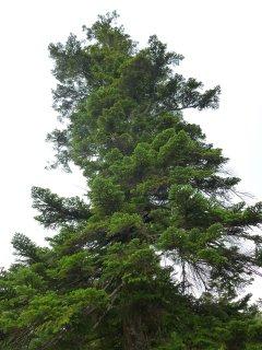 s05巨木1