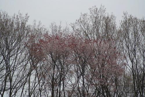 山桜421