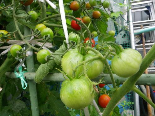 台木トマト