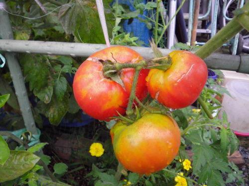 台木トマト812