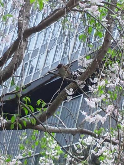 桜の上のすずめ