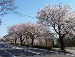 11/04/17 将監桜並木