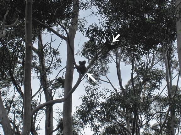 Koalas_20140102190745bad.jpg