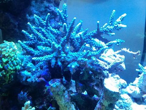 照明で青いスギ20130116