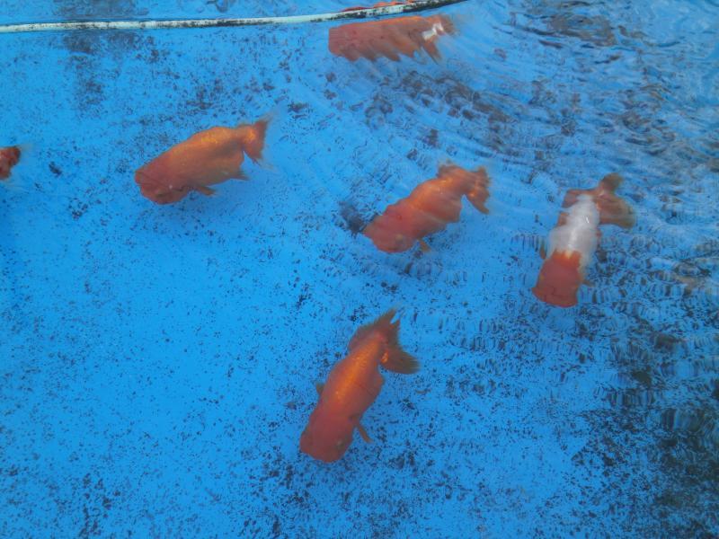 2013/11/4 堀口養魚場 らんちゅう1