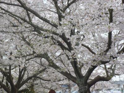 垣生公園大桜