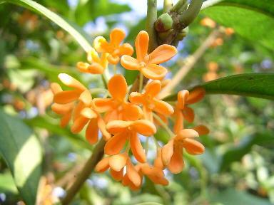 いい匂いの金木犀の花