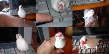 文鳥K氏さん宅に居た可愛い文鳥完全無修正デジカメ写真