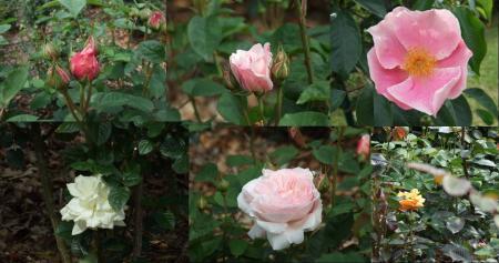 開花した薔薇を探し撮った薔薇の完全無修正写真です