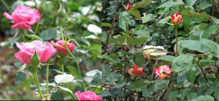 開花していた薔薇ですの完全無修正写真