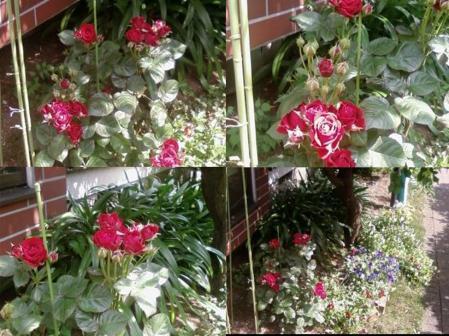 実家の花壇に咲き飾られた美しき薔薇完全無修正写真画像