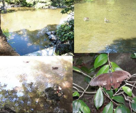 小浜池にいた水鳥に大きな蝶々を目撃