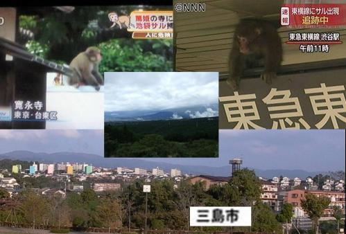 猿の騒動で騒がれてた東京都内だが靜岡県三島市では凶暴な猿の騒動です