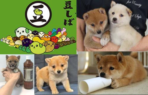 小型犬で可愛い豆柴です