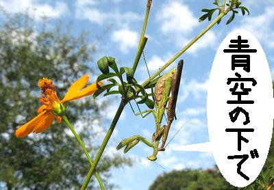 大自然の中で愛の営み…虫たちの交尾する写真いろいろ(カマキリ)12