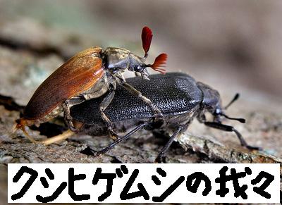 大自然の中で愛の営み…虫たちの交尾する写真いろいろ(クシヒゲムシ)3