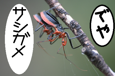 大自然の中で愛の営み…虫たちの交尾する写真いろいろ(サシガメ)2