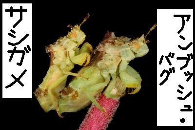 大自然の中で愛の営み…虫たちの交尾する写真いろいろ(サシガメでアンブッシュ・バグ)13