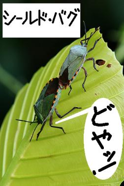 大自然の中で愛の営み…虫たちの交尾する写真いろいろ(シールド・バグ)15