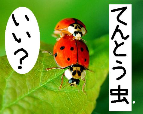 大自然の中で愛の営み…虫たちの交尾する写真いろいろ(テントウムシ)6