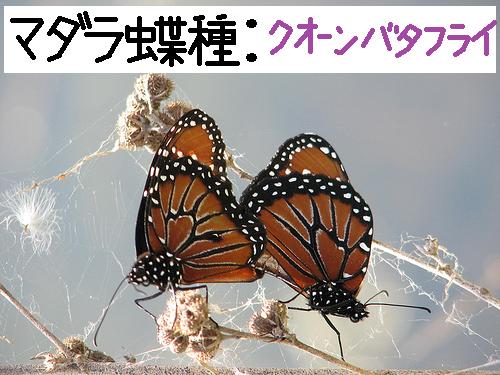 大自然の中で愛の営み…虫たちの交尾する写真いろいろ(マダラ蝶の一種でクオーン・バタフライ)8