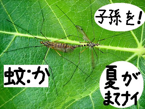 大自然の中で愛の営み…虫たちの交尾する写真いろいろ(蚊)5