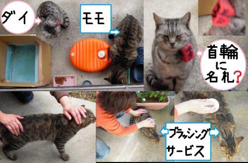 地域猫の2匹のモモとダイちゃんにエサを与え身体をブラッシングマッサージサービスしてるがダイちゃんは触れさせず誰かに首輪に名札を付けられたいた写真です