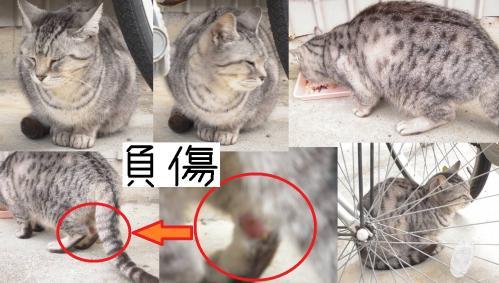地域猫の高齢猫のダイちゃんが猫同士の喧嘩で脚を負傷している写真です