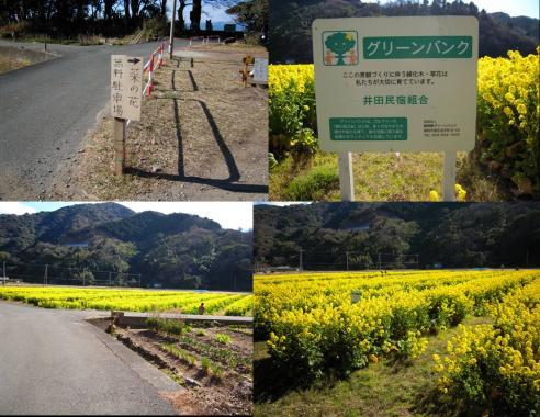 井田民宿組合のグリーンパーク写真 菜の花畑に着きました