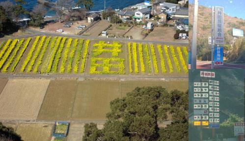 菜の花畑が文字畑となってた井田民宿組合の写真です