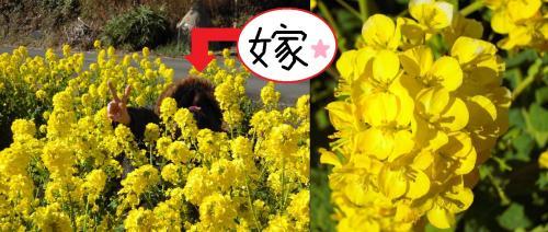 井田の菜の花畑の中で顔を隠してピースする嫁の完全無修正写真