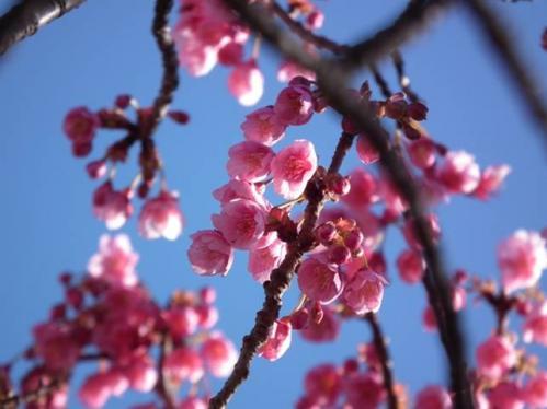 土肥金山でこの時にてるみんこふが撮った桜の三分咲き写真です