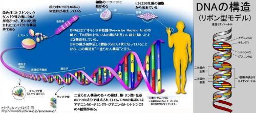 可愛い子が誕生する為のDNAの構造でリボン型モデルとなっている