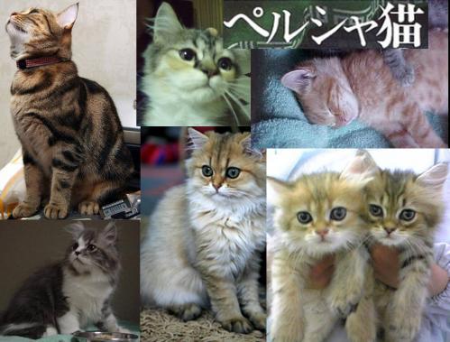 ペルシャ猫たちの写真です