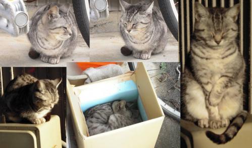 ペルシャ猫で地域猫の高齢メス猫のチータがようやく自作の断熱材使用のホットハウスで寝てくれた時の写真だ