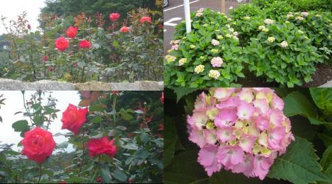 岩本山公園にて情熱の真っ赤な薔薇と梅雨時の紫陽花の花の写真