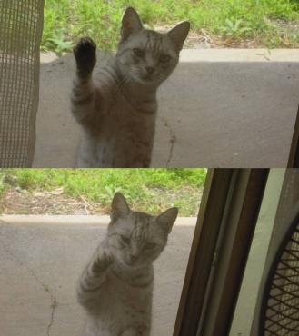 エサをちょうだいよと我が家の網戸を叩きにくる地域猫のチータの写真