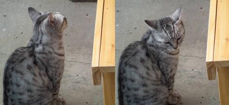 地域猫のチータが我が家の新たな縁台を眺めてるところのデジカメ写真