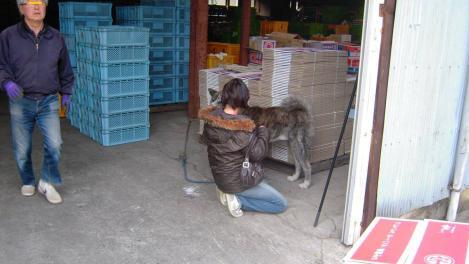 秋田犬がみかん直売所に居て嫁が可愛がるデジカメ写真を撮った