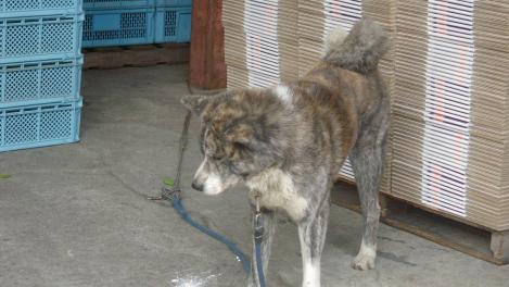 国の天然記念物の中でも大型犬の秋田犬のデジカメ写真です