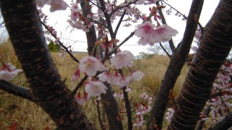 熱海市の梅のデジカメ写真