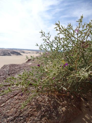 wadi hudud flower