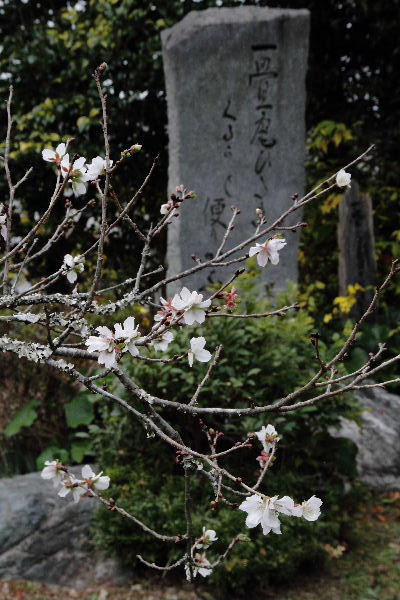 惣河内神社・百日桜 121121 011