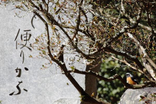 惣河内神社一畳庵・ジョウビタキ 130210 02-02