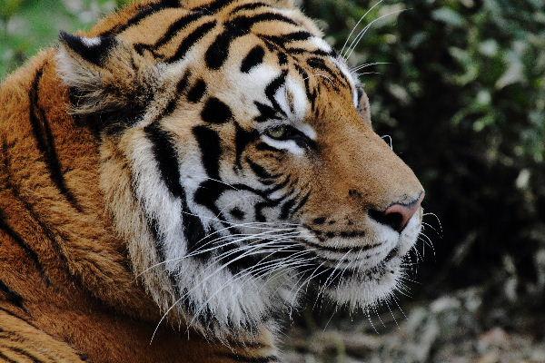 TobeZOO Tiger Br. 130316 002